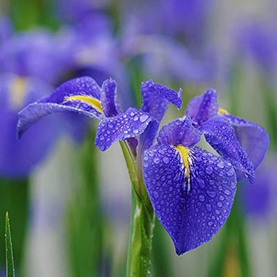20pcs / Sac Iris Graines de Purple Bearded Iris Graines rares Bonsai Iris Orchidée Phalaenopsis Fleur Graines de plantes naturelles pour jardin