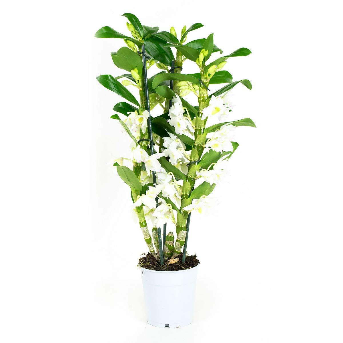 BOTANICLY | Orchidée – Apollon | Hauteur 50 cm | Dendrobium Nobilé