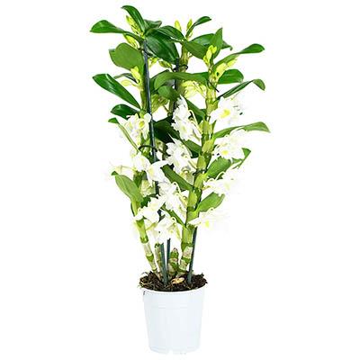 Orchidée Fleur Blanche | Dendrobium | Plante interieur | Hauteur 55 cm | Pot 11 cm | Entretien facile