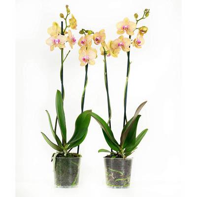 Orchidée Fleur Orange et Mauve x 2| Phalaenopsis | Plante interieur | Hauteur 60 cm | Pot 12 cm | Entretien facile