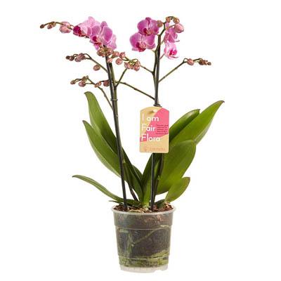 Orchidée (Rose) | Phalaenopsis Multiflora | Plante d'intérieur | Hauteur 50cm | Pot 12cm | Entretien facile | Production équitable