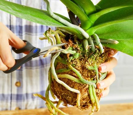 entretien et soin orchidées - Transplantation et ou changement de pot