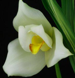 Orchidée Lycaste
