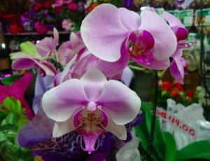 signification et couleurs des orchidées