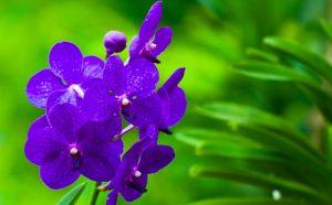signification orchidée bleue