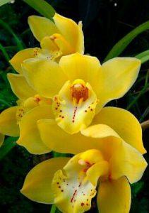 signification orchidée jaune