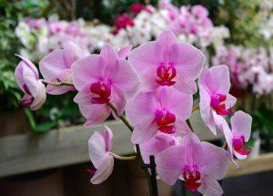 signification orchidée rose