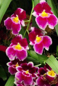 signification orchidée rouge