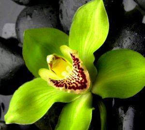 signification orchidée verte
