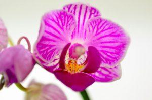 signification orchidée violette