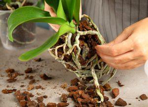 Comment procéder au rempotage d'une orchidée