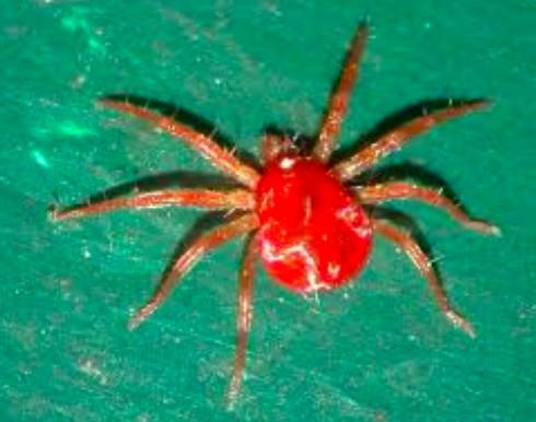 araignée rouge orchidée