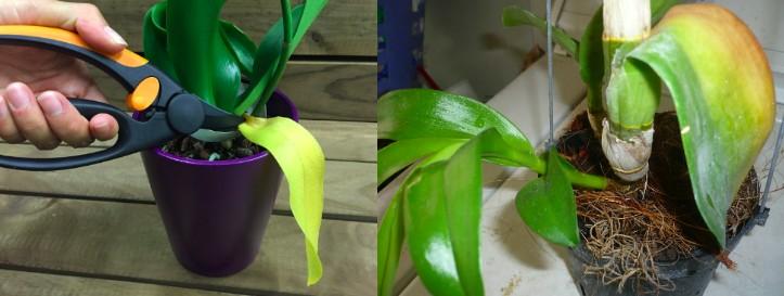 orchidées feuilles jaunes