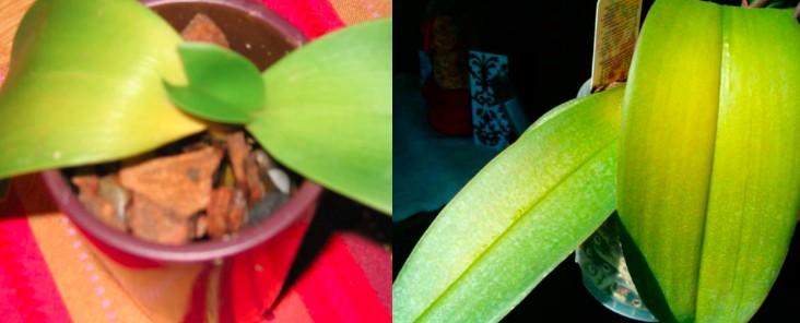 orchidées feuilles jaunes éclairage