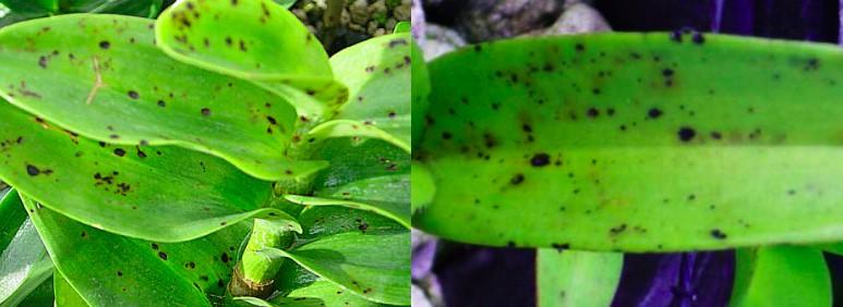 orchidées feuilles jaunes champignons