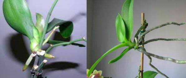 keikis orchidées