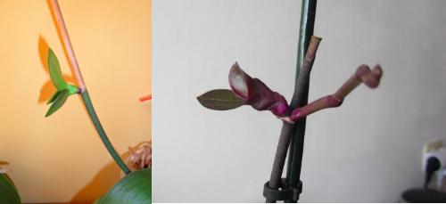 keikis d'orchidées entretien
