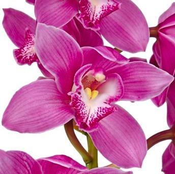tableau orchidée rose
