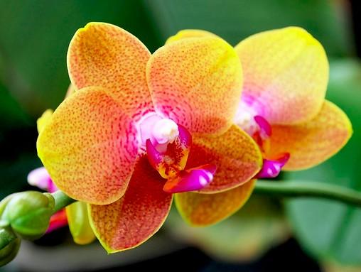 signification orchidées jaunes