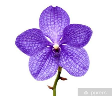 orchidée violette vanda