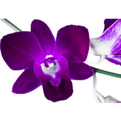 signification orchidée violette