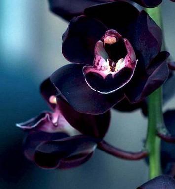 bouquet orchidées noires