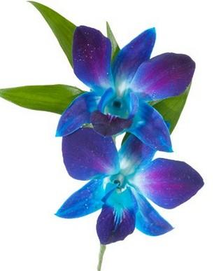signification orchidées bleues