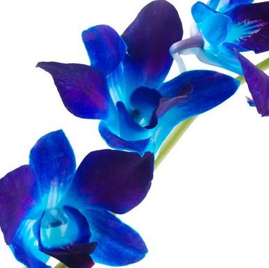 Prendre soin d'une orchidée bleue