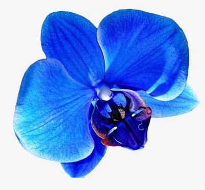 Image orchidée bleue