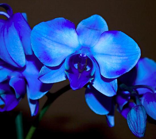 Image orchidées bleues