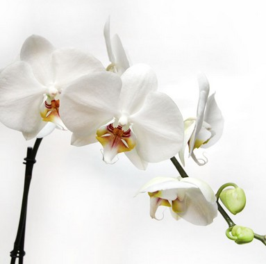 signification orchidée blanche