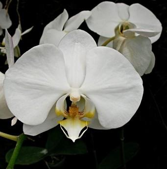 image orchidées blanches