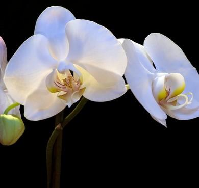 bouquet orchidées blanches