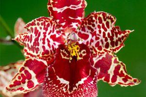 arrosage orchidée cambria