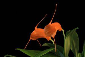 comment arroser une orchidée masdevallia