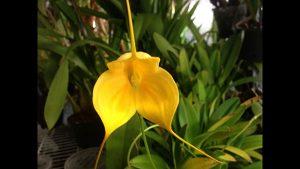 comment fertiliser une orchidée masdevallia