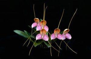 comment s'occuper d'une orchidée masdevallia