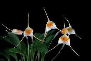 image orchidée masdevallia