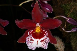 orchidée Vuylstekeara Cambria Plush