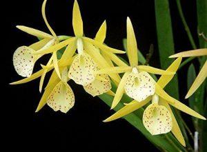 orchidée brassavola arrosage