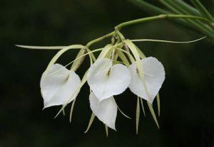 orchidée brassavola entretien