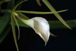 orchidée brassavola nodosa