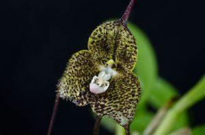 orchidée dracula