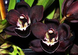 orchidée masdevallia rolfeana