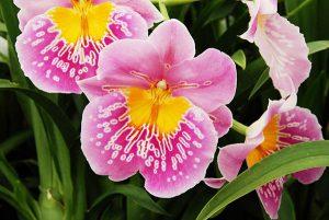 orchidée miltonia arrosage