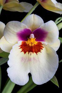 orchidée miltonia entretien