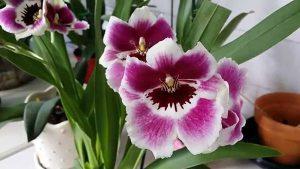 orchidée miltonia floraison