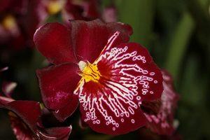 orchidée miltonia rempotage
