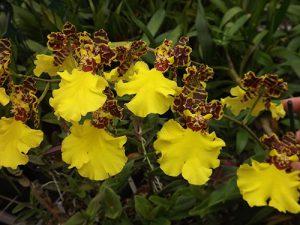 orchidée oncidium entretien