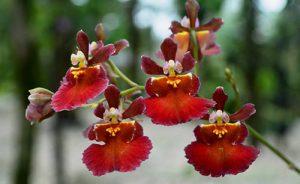 orchidée oncidium floraison
